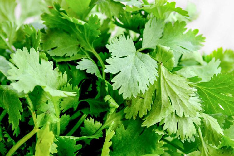 10-hierbas-aromaticas-para-cocincar-cilantro-wikicocina