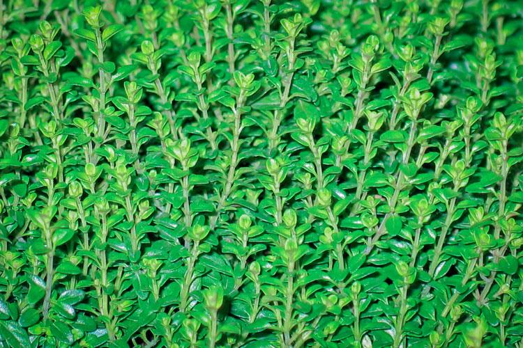 10-hierbas-aromaticas-para-cocincar-tomillo-wikicocina