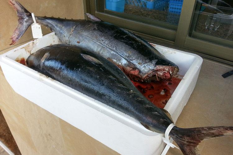 Como embotar bonito o atun - detalle bonito - Wikicocina