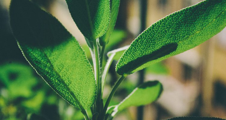 10 hierbas aromáticas para cocinar - Wikicocina