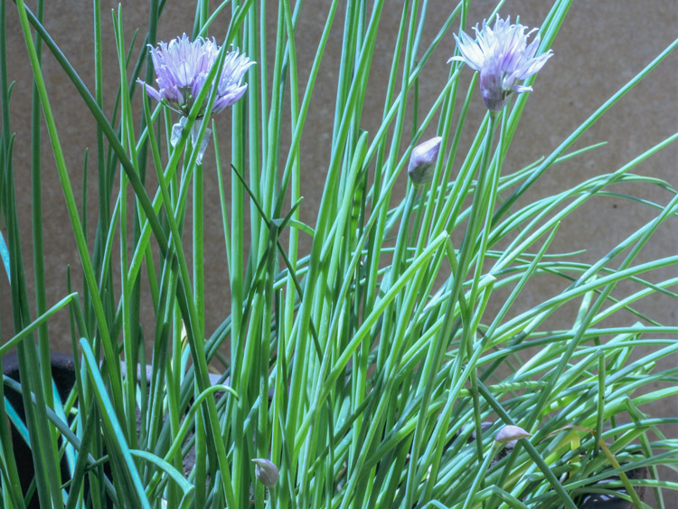 10-hierbas-aromaticas-para-cocincar-cebollino-wikicocina